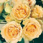 薔薇(バラ)の苗木 FL アンティーク レース(接木苗)