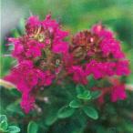 ハーブの苗 クリーピングタイム(赤花)