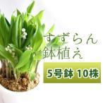 すずらん 鉢植え 5号鉢 10株(花芽7株・葉芽3株)     北海道長沼町で栽培したかわいいすずらんを育てましょう! プレゼントやお祝いにもどうぞ♪