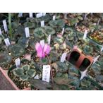 【希少!】【原種シクラメン・プルプラセンス】球根植物・山野草