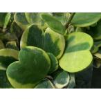 【斑入りハートホヤ】3.5号・ホヤカーリー・多肉植物・観葉植物