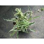 【オリヅルラン】(カールタイプ)3号・観葉植物・多肉植物