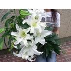 最高品質カサブランカ 5輪付 5本の花束