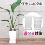 観葉植物 ストレリチア・オーガスタ 6号角プラスチック鉢 送料無料 人気