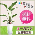 観葉植物 ストレリチア・オーガスタ 6号高陶器-丸鉢 送料無料 開店祝い 人気