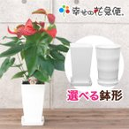 観葉植物 アンスリウム・ダコタ 6号プラスチック鉢 人気 誕生日プレゼント