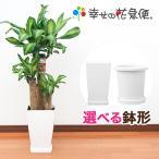 観葉植物 幸福の木7号角プラスチック鉢 高さ約1m
