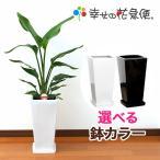 観葉植物 ストレリチア・オーガスタ 7号高陶器-角鉢(白) 送料無料 人気