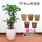 ◆予約販売◆観葉植物 幸福の木(ドラセナ) 7号プラスチック鉢(鉢カバー付)