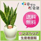 観葉植物 サンスベリア・フツーラ 5号丸高陶器鉢(白・赤・黒)