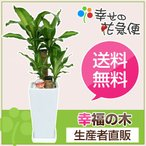 観葉植物 幸福の木6号高陶器-角鉢(白) 高さ約70cm 観葉植物