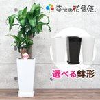 観葉植物 幸福の木6号カラーポット 高さ約65cm