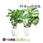 人気の観葉植物、幸福の木やモンステラ、サンスベリアが送料無料