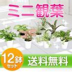 ミニ観葉植物12鉢セット 【送料無料】【新築祝い/開店祝い/お誕生日祝い/結婚祝い/引越し祝い】