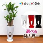 観葉植物 幸福の木7号高穴あき陶器鉢(白/赤/黒) 高さ約1.1m