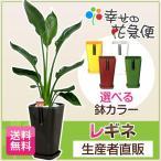 観葉植物 ストレリチア・レギネ 6号カラーポット 極楽鳥花 誕生日プレゼント