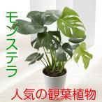 父の日ギフト モンステラ・一つは欲しい観葉植物 お父さんに送るって言う事にして飾っちゃうのもいいかも? 6号鉢・受け皿付き 送料無料・他品同梱不可