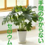 父の日ギフト セロウム・一つは欲しい観葉植物 お父さんに送るって言う事にして飾っちゃうのもいいかも? 5.5号鉢・受け皿付き 送料無料・他品同梱不可