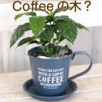 父の日ギフト 色艶ピカピカのコーヒーの木 ブリキカップ入り 送料無料・他品同梱不可
