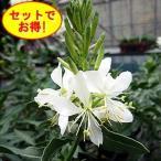宿根草 ガウラ パピヨン 3株セット