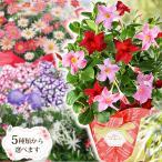 母の日 2021 花 鉢植え プレゼント ギフト おしゃれ ベゴニア ブーゲンビリア クレマチス 選べるお花 こだわりラッピング