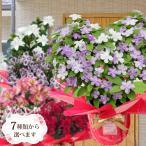 母の日 クレマチス 豪華 お花 2021 鉢植え ギフト プレゼント 6号鉢 こだわりラッピング  gift present 3種類から選べます