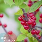 果樹 苗木 花 ユスラウメ 梅桃 鉢植え 赤実 ゆすらうめ 接木 4.5号 直径13.5cm ポット 落葉樹