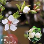 ユスラウメ 苗木 花 梅桃 鉢植え 白実 ゆすらうめ 接木 4.5号 直径13.5cm ポット 落葉樹