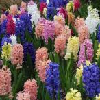 ヒヤシンス 球根 水栽培にも 秋植え 冬植え 春咲き 5色から選べる3球パック イングリッシュガーデン