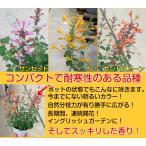 アガスターシェ アリゾナシリーズ 1株 3色の中から選んでください  耐寒性多年草 宿根草 花苗 ガーデニング 寄せ植えなどに