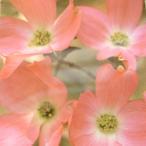 アメリカハナミズキ 赤花種 (レッドジャイアント)13.5cmポット苗 1株