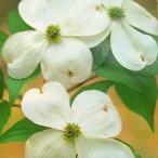 アメリカハナミズキ 苗 木 13.5cmポット苗 白花種 クラウドナイン
