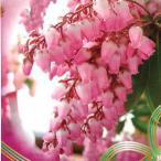 アセビ 花 苗木 冬 春 鉢植え あせび 馬酔木 クリスマスチェアー ポット苗 ガーデニング 家庭樹