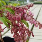 アセビ 馬酔木 花 苗木 冬 春 鉢植え あせび バーレバレンタイン ポット苗 ガーデニング 家庭樹