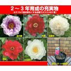 牡丹 カラフルコレクション 庭を明るくするお勧めをご紹介6号鉢(直径18cm) 2〜3年物