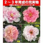 牡丹 ピンキーコレクション ピンク系でお勧めをご紹介 6号鉢(直径18cm) 2〜3年物