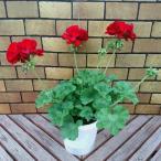 宿根草 シンジェンタの栄養系 ゼラニウム ( ゼラニューム ) カリオペ  ダークレッド (ディープレッド) 5号鉢 2鉢セットで送料無料