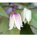 クレマチス 常緑冬咲きヘンリー 4.5号サイズ2年生ポット苗