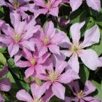 クレマチス かぐや 花 苗 四季咲き 3年生 4号鉢 春 夏 秋 グランドカバー 支柱仕立てでそのまま巻き付けていただければ楽しめます