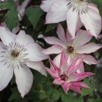 クレマチス 面白 花 苗 四季咲き 3年生 4号鉢 春 夏 秋 オモシロ 鉢植え グランドカバー 支柱仕立てでそのまま巻き付けていただければ楽しめます