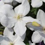 クレマチス サニーホワイト 花 苗 四季咲き 3年生 4号鉢 春 夏 秋 ビチセラ系 グランドカバー 支柱仕立てでそのまま巻き付けていただければ楽しめます