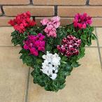 ガーデンシクラメン 花 苗 鉢 寄せ植え 7色から選べる 9cmポット 成長促進ホルモン剤不使用 特別栽培品