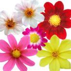 毎年開花の宿根タイプのダリア