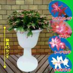 4種から選べるデンマークカクタス(シャコバサボテン) 豪華に飾れる9号スタンド鉢 これから開花の蕾いっぱい状態(11月16日現在)