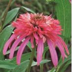 宿根草 カラフル八重咲きエキナセア グアバアイス 1株