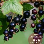 果樹苗 カシス 苗木 カシス (ブラックカーラント) ポット苗 果樹苗木 落葉樹 低木 ベリー フサスグリ