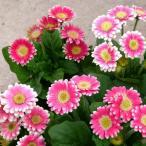 ミニガーベラ 花 苗 プリティピンク 1株 宿根草 コンパクトタイプ 色の濃淡はあります グラデーションカラー イングリッシュガーデン