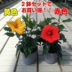 ハイビスカス 5号鉢 赤・黄2色セットでお買い得 晩秋まで咲き続け毎年楽しめる