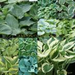 ホスタ(ギボウシ) 選べる10種の根株です 1株  3月末までの期限販売