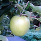 リンゴ 果樹 苗木 りんご 王林 受粉兼用 4.5号 直径13.5cm ポット 落葉樹